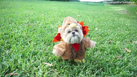 Happy Thanksgiving from Munchkin the Teddy Bear!