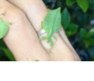 Baby Leaf Insects Hold Dance Party On Owner's Hand