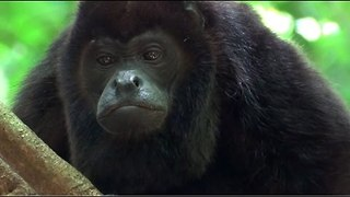 Female Howler Monkey Shares Unconventional Flirting Technique - Video