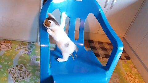 50day old cat - part9(A cat who succeeded in climbing a chair)