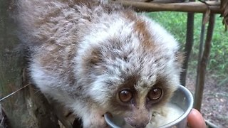 Slow Loris Refuses to Part With Food Bowl - Video