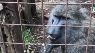 Chimp and Baboon Saved From Captivity in Rural Congo Village - Video