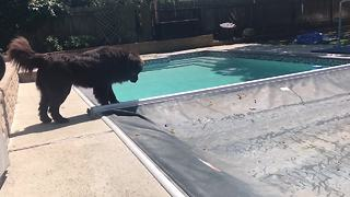 Dog's rescue instincts emerge as pool cover closes - Video