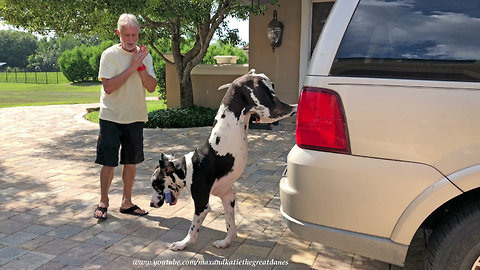 Great Dane needs to work on his grocery delivery skills
