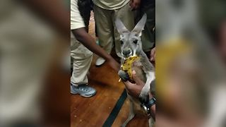 A Baby Kangaroo Eats A Banana - Video