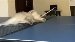 Cat goes crazy on ping-pong table!