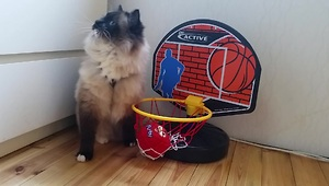 Ragdoll cat shows off impressive basketball skills - Video