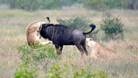 Hook, lion and sinker: Incredible moment wildebeest fights off ravenous lions by hooking horn into one of the predator's hind legs