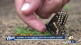 Swarms of Painted Lady butterflies spotted in North County