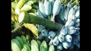 BLUE BANANAS! People from all over the world are traveling to Arizona for a tree - ABC15 Digital