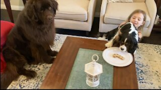 Christmas treat extravaganza for Newfie and Cavalier puppy