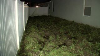 Wild pigs destroy dozens of lawns in Wesley Chapel neighborhoods - Video