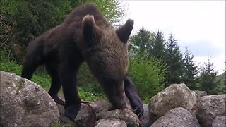 Hidden Camera Shows Hungry Bears Foraging For Food - Video