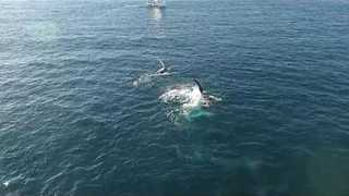 Whales Wave Their Fins Off Sydney's Coastline - Video
