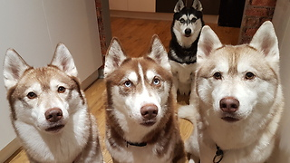She Asks Her Huskies Who Ate The Neighbor's Cat Food. Watch Them All Blame Each Other! - Video