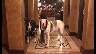Talkative Great Danes Celebrate New Year's Eve