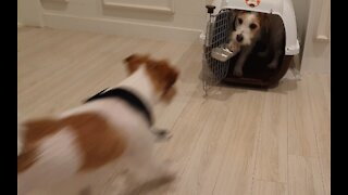 Jack Russell trained to go inside his cage and shut the door