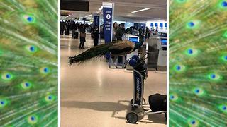 United Airlines Forced Emotional Support Peacock to Give Up Its Seat - Video