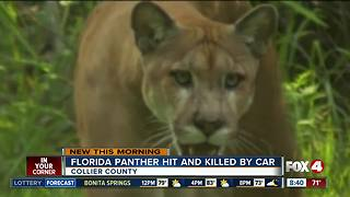 Florida panther hit and killed by car in Collier County - Video