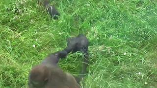 Gorilla youngster drags baby brother across the grass - Video