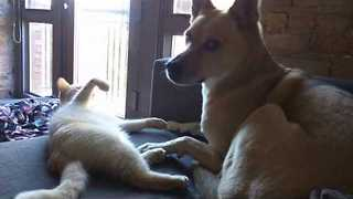 Courageous Cat Tests Patience of Noble Dog - Video