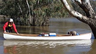Students Use Canoe To Rescue Koala Stuck Up Tree In Rising River - Video