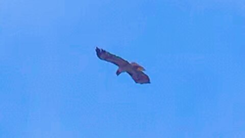 Beautiful hawk hovers in one spot with ease