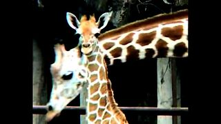 Newborn Baby Giraffe - Video