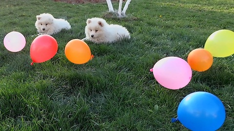 Samoyed puppies adorably play with balloons