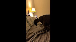 Hidden camera captures pit bull's nightly routine