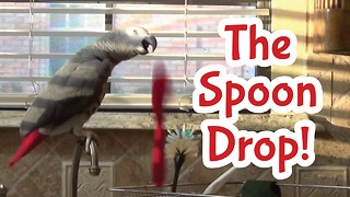 Einstein the Talking Parrot's spoon drop - Video