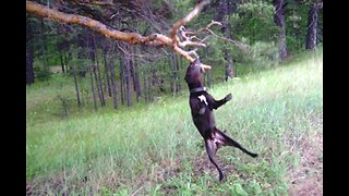 Pit Bull furious he can't bring down entire tree branch