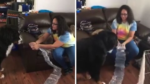 Bernese Mountain Dog totally freaks out over bubble wrap
