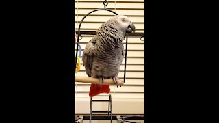 Grey parrot drips like a leaky tap