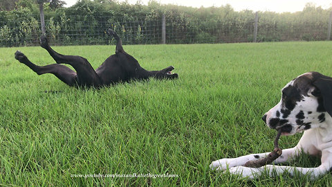 Funny Great Danes Love To Play With The Same Stick