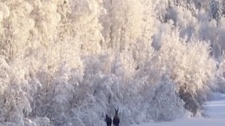 Caught on camera! Moose take peaceful stroll through snowy forest in Alaska - ABC15 Digital - Video