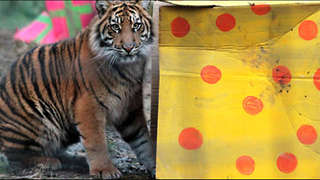Sumatran Tigers Celebrate First Birthday at London Zoo - Video