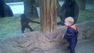Little Boy Plays Peek A Boo With A Baby Gorilla - Video