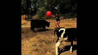 Playful cows run after giant red ball