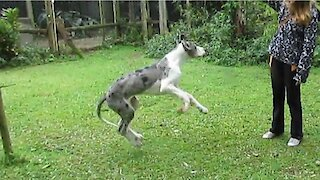 Dog fail: Puppy doesn't know how to jump