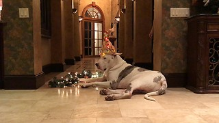 Lazy Great Dane Models Light Up Turkey Hat  - Video