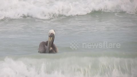Pelican fearlessly rides post-hurricane waves on Florida beach