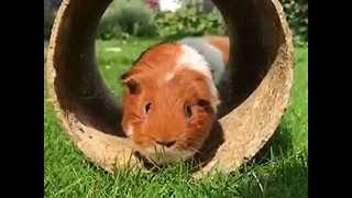Adorable Guinea Pigs Play a Game of Chase - Video