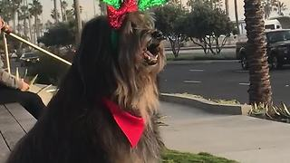 Dog models awesome Christmas antlers - Video