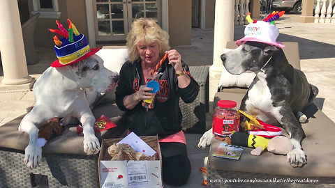 8 Year Old Great Dane Twins Enjoy Surprise Birthday Gifts