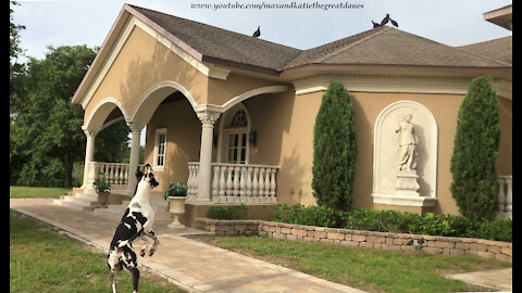 Funny Great Dane Get Distracted While Chasing Vulture Birds