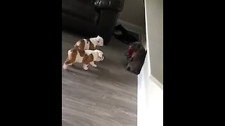 Two Bulldog Puppies On The Prowl To Steal Toy