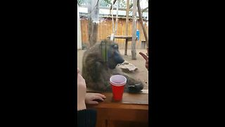 Prankster baboon scares kid at zoo