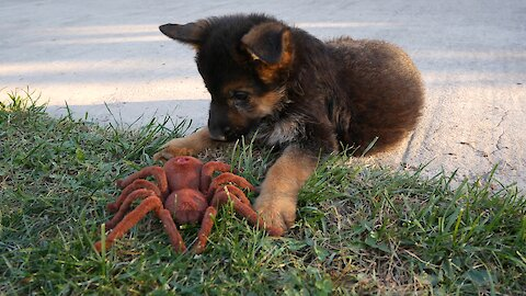 German Shepherd puppies take on robot spider