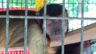 Cute monkey seems sad and tired  - Video